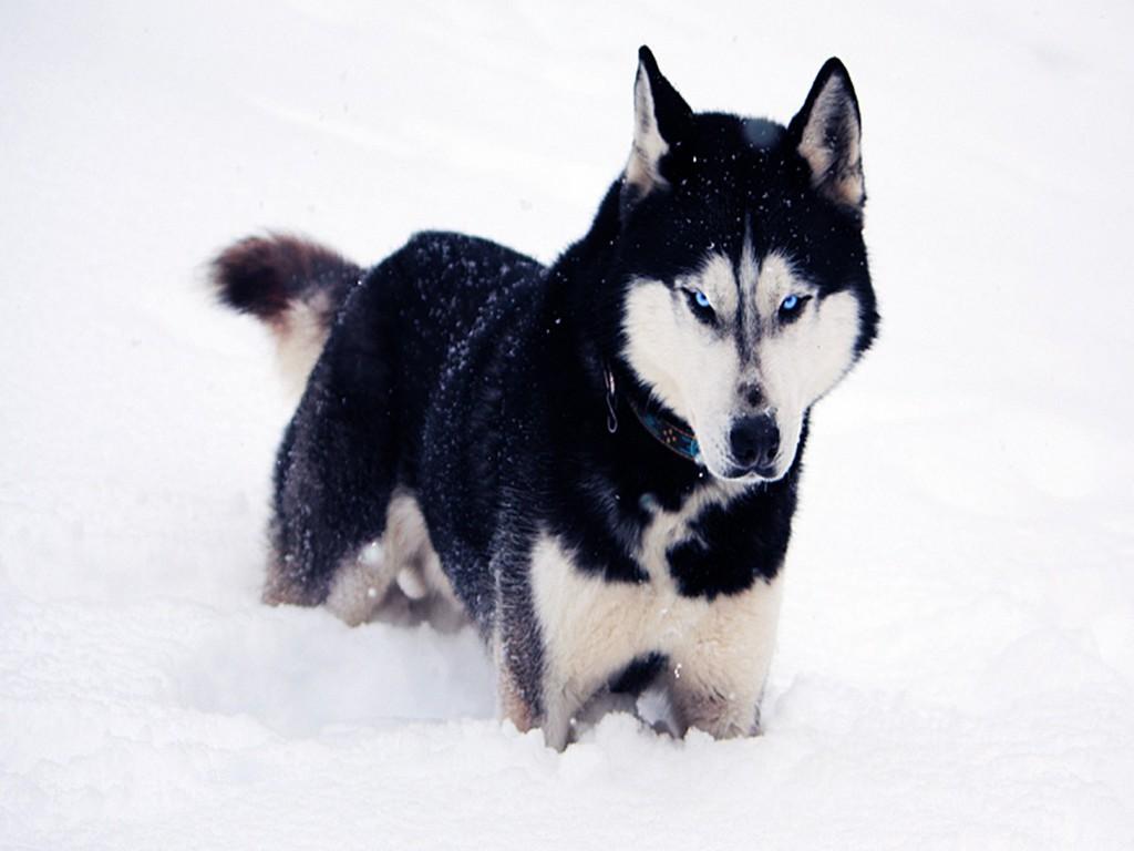 Desktop Wallpaper Dogs Red Fox Jumping Dogs Snowdog Dogs