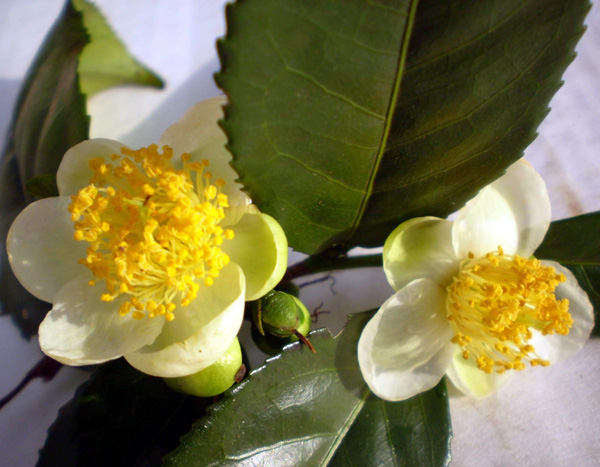 Flor da Camellia Sinensis.Foto: Wikipedia