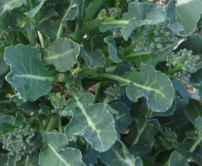 Fall planted broccoli still producing