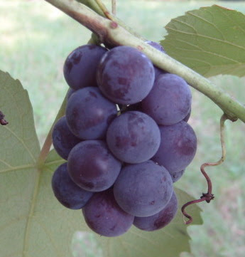 Unknown variety of bunch grapes