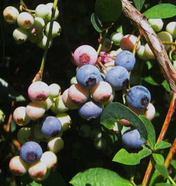 Our blueberries have been ripening