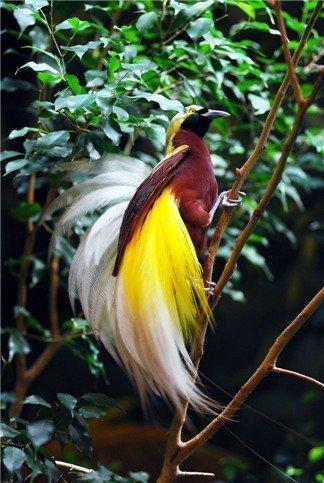 10 Burung Cendrawasih Terindah Di Dunia Beritaunik Net