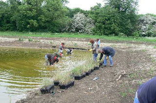 volunteers planting reeds in the new lagoon