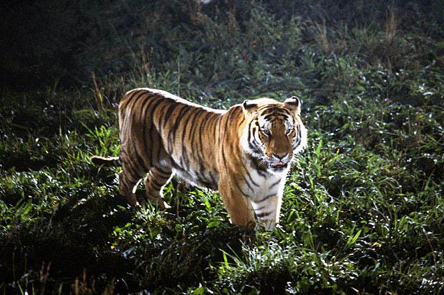 草むらに佇む虎