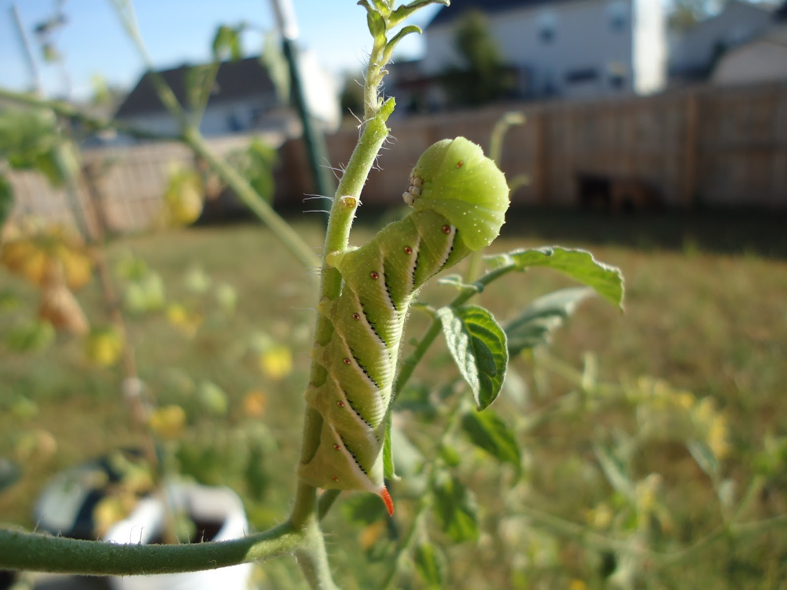 Thyme To Garden Now Icky Garden Pests Hornworms, Cabbage