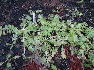 Thyme To Garden Now 13 Harvest Daikon Radish