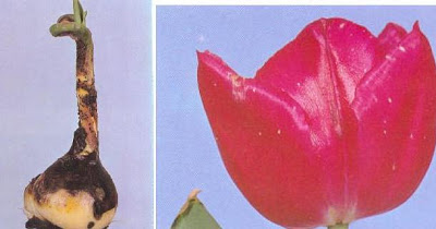 Foto%C4%9Fraf+3.5+Botrytis+tulipea+hastal%C4%B1%C4%9F%C4%B1