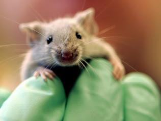 A-laboratory-mouse-6332313.jpg