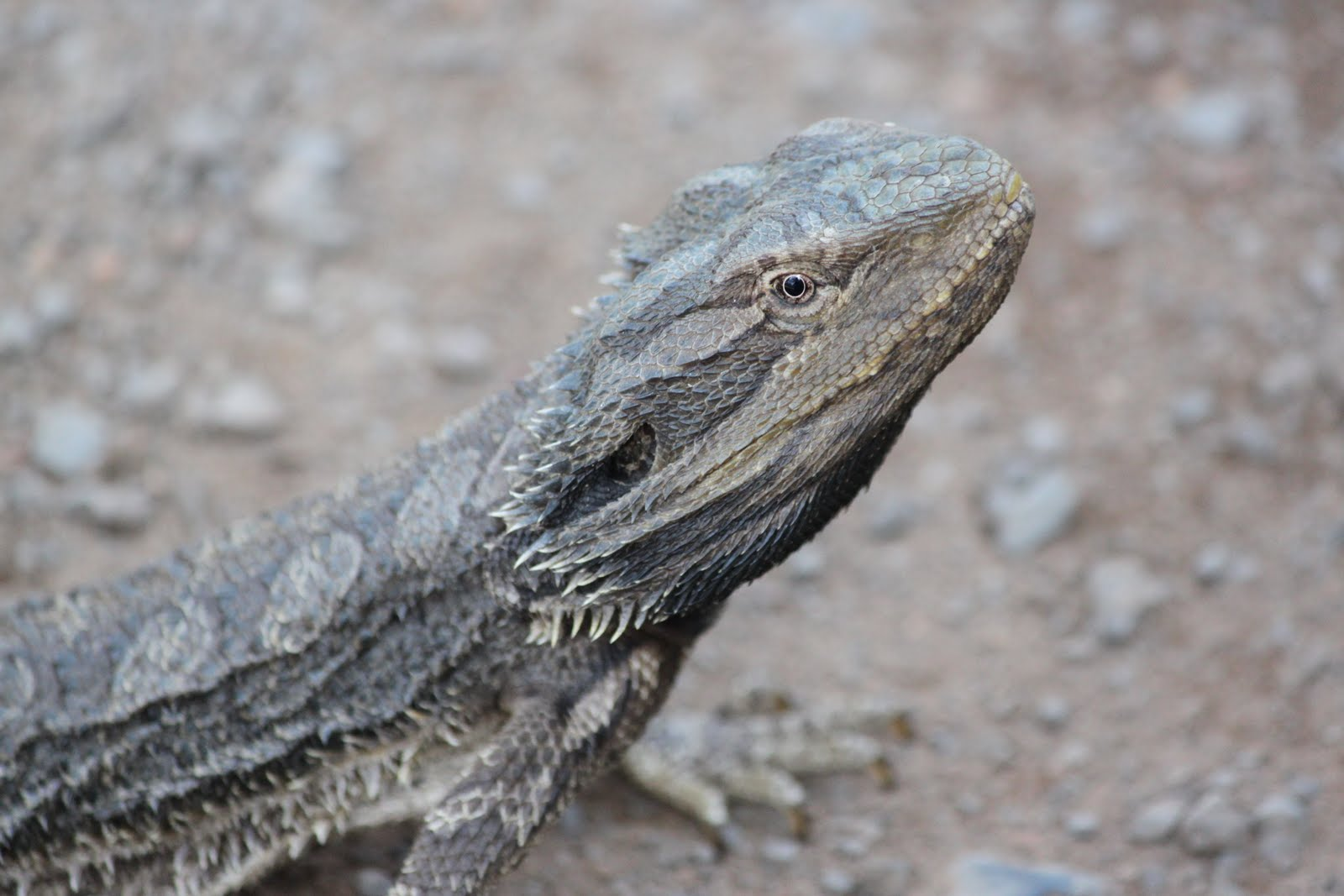 What's New Down Under: Frilled Neck Lizard