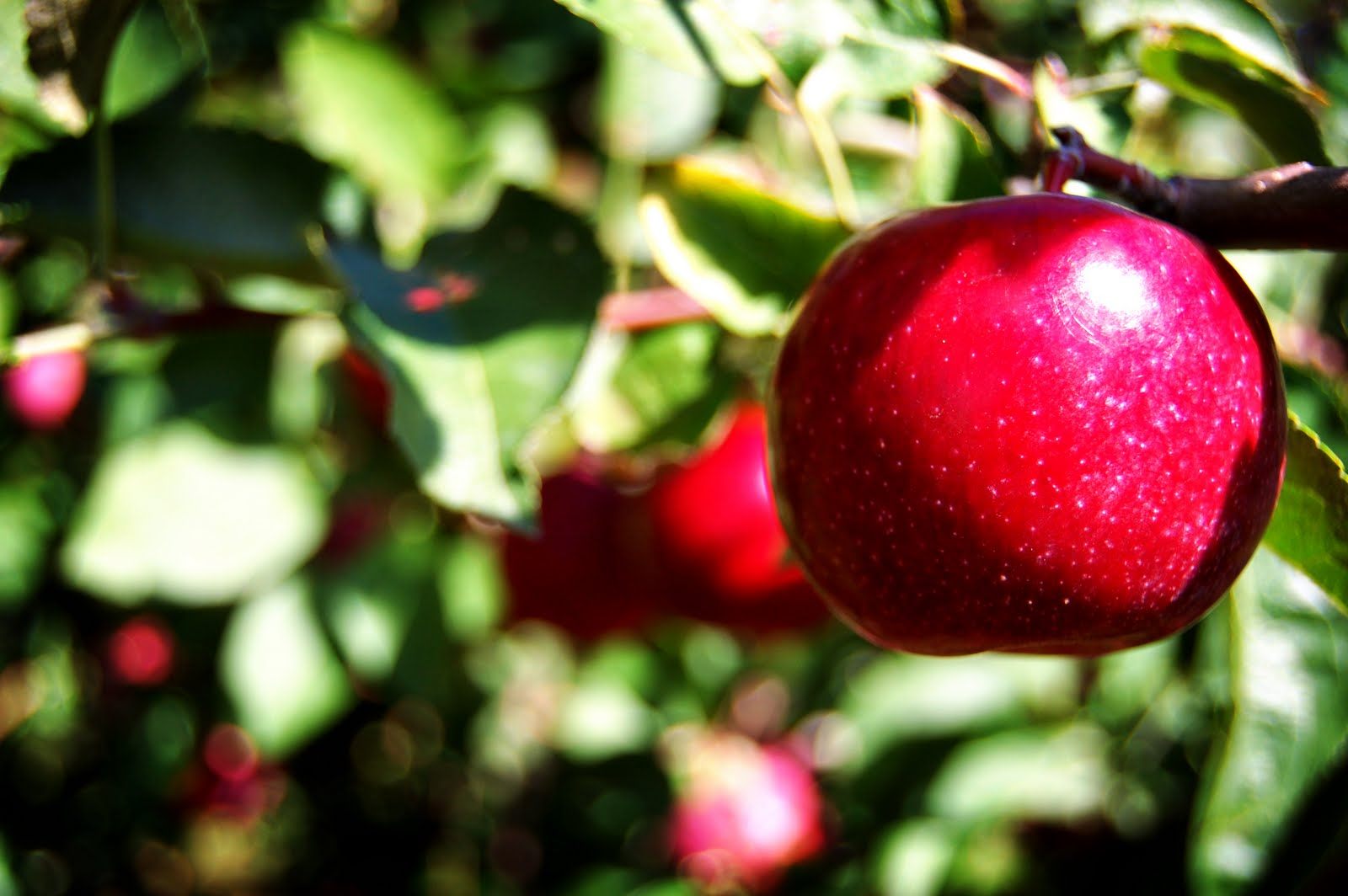 "an analysis of after apple picking A summary of ""after apple-picking"" in robert frost's frost's early poems learn exactly what happened in this chapter, scene, or section of frost's early poems and what it means."