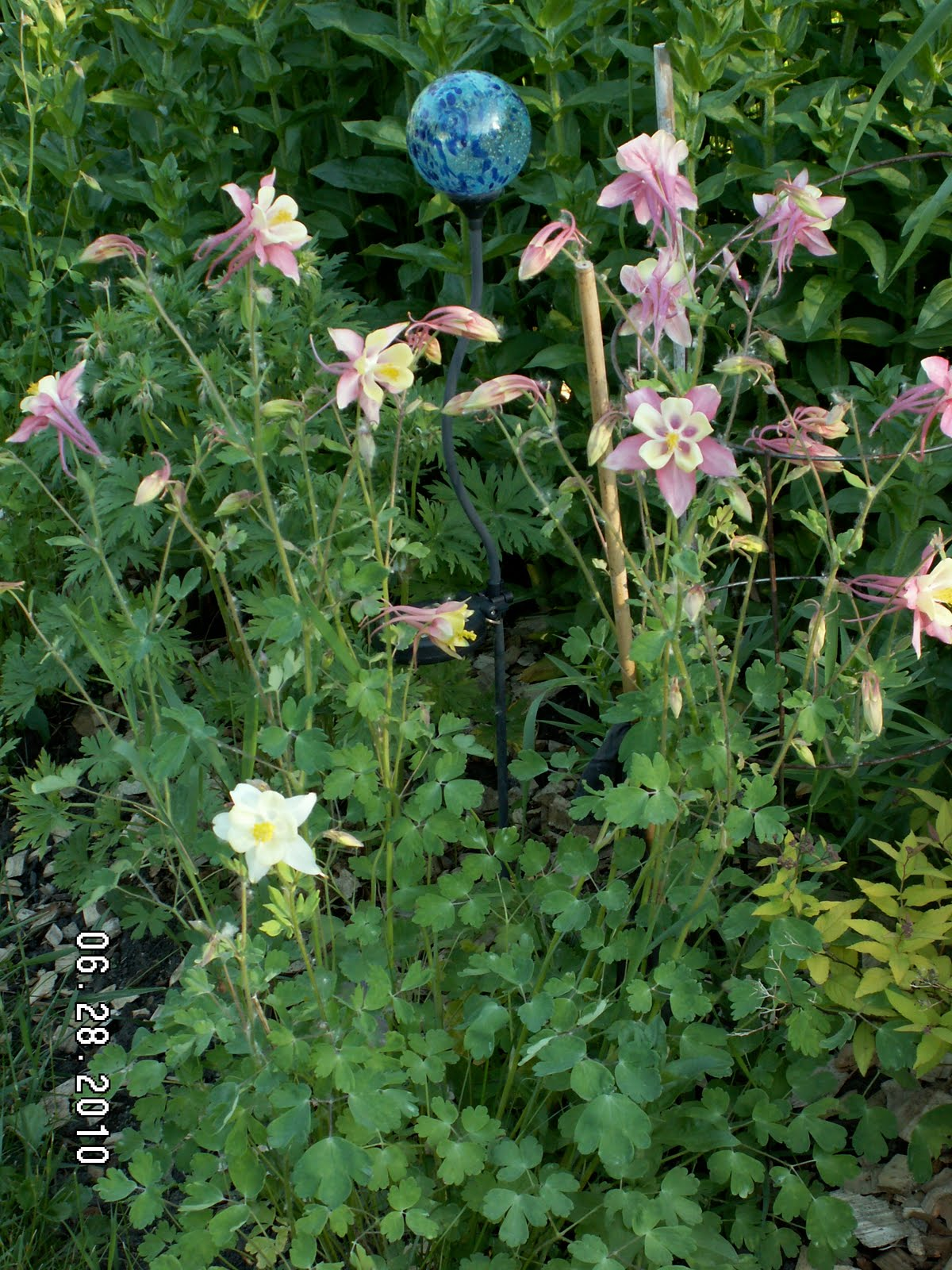 Carolas alberta garden 2018 lupines columbines and gaillardia lupines have interesting foliage and beautiful tall spikes on flowers in a variety of colors the leaves are compound leaves with 5 to 7 long fingers on izmirmasajfo