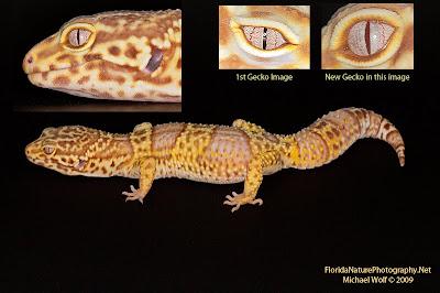 Cute Baby Lizards Wallpaper Sunshine Leopard Geckos