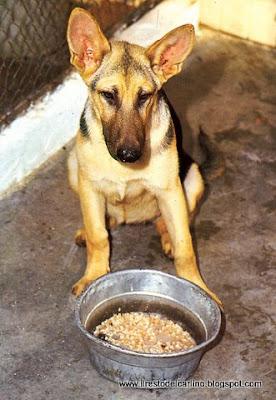 blog sul cane e i cuccioli: il pastore tedesco: come alimentarlo al