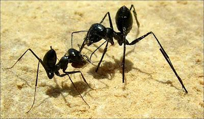 Hormigas del desierto huelen el paisaje en estéreo