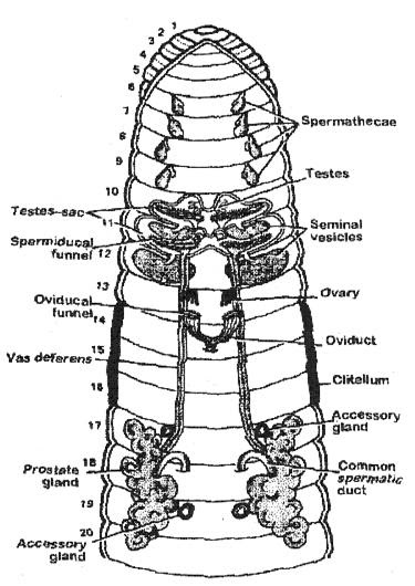 Reproductive System of Earthworm ~ Pass. Science. Solutions.