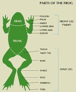 frog rana tigrina pass science solutions. Black Bedroom Furniture Sets. Home Design Ideas