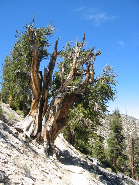 Bristlecone pine tree ring dating dendrochronology 3