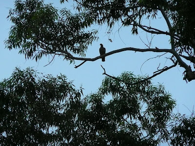 Silueta al atardecer de una paloma en una rama.
