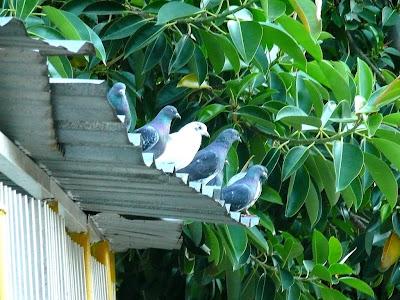 Cinco palomas en fila sobre un tejado de cinc