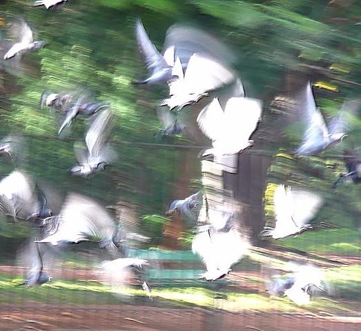 Bandada de palomas en vuelo desenfocadas