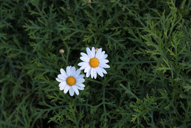 Flores blancas. en matas verdes