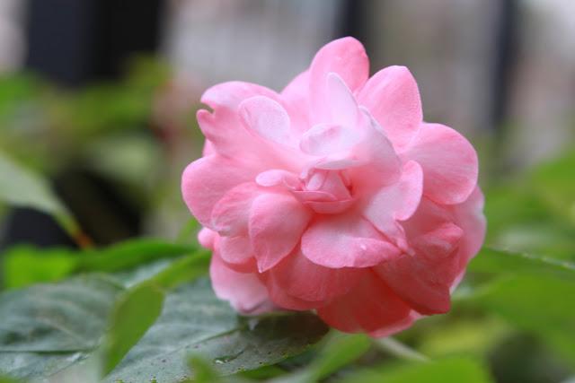 Flor.Capullo rosado