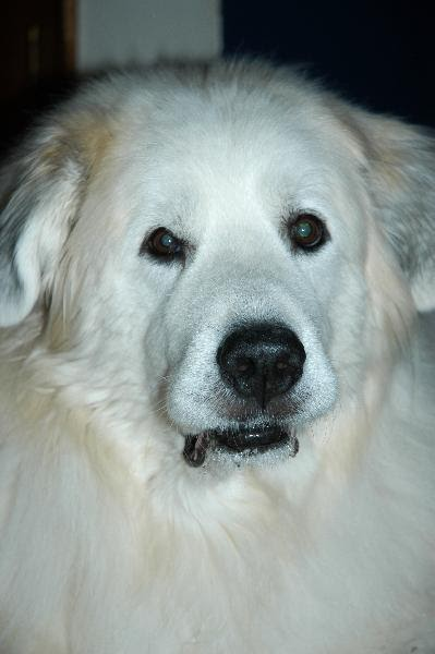 Rue Mouffetard World S Oldest Living Great Pyrenees