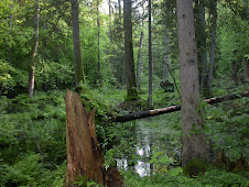 Bialowieza Forest, Poland