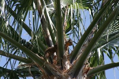 Squirrel in palm tree in Burbank