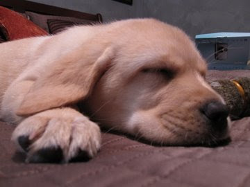 Dozing 9 week old Labrador pup Maddie