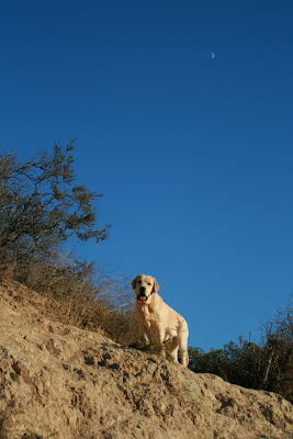 Runyon Canyon ridge Labrador