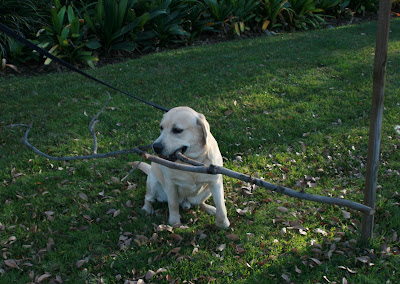 Cooper with stick in mouth