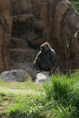 Gorilla at LA Zoo