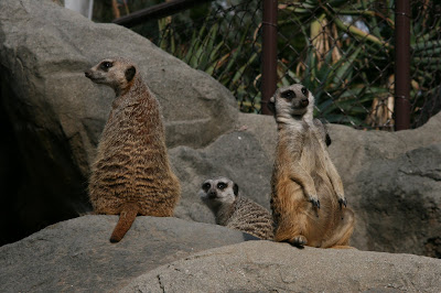 Los Angeles Zoo Meerkats