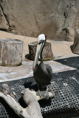 Pelican at LA Zoo