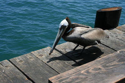 Brown Pelican at Stearns Wharf