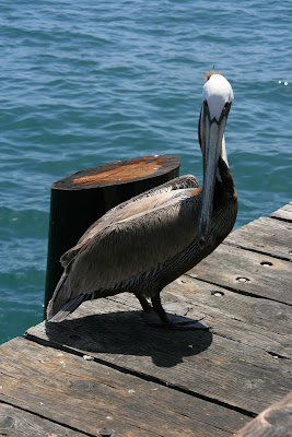 Brown Pelican at Stearns Wharf in Santa Barbara