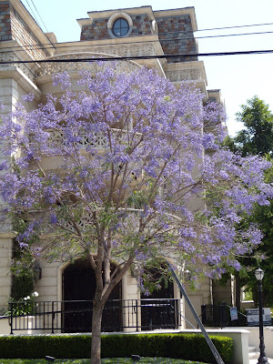 West Hollywood lilacs in bloom
