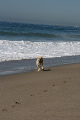 Beach shore Labrador Cooper