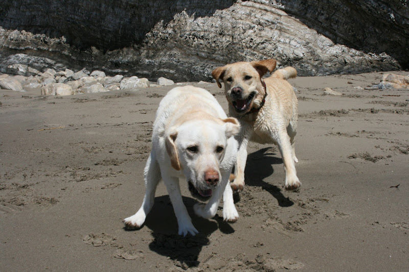 Beach Labradors playing