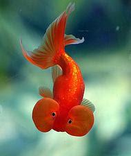 Blue bubble eye goldfish - photo#41