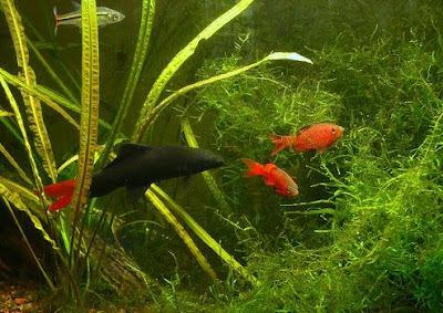 Aquarium Lore Red Tail Black Shark