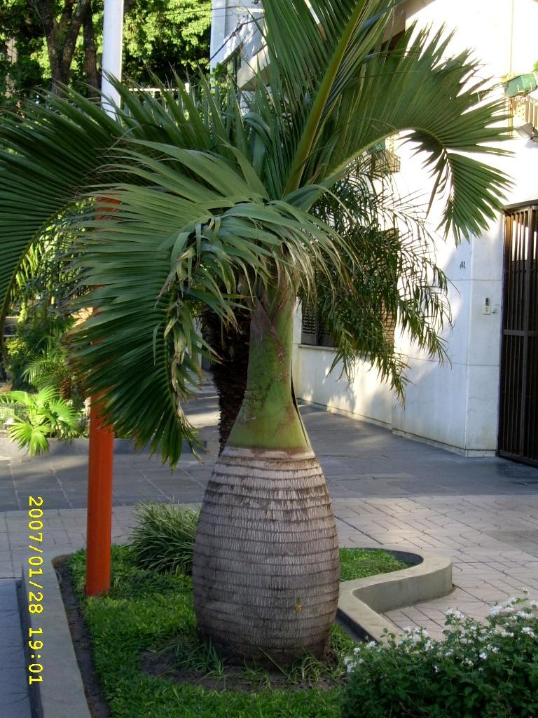 Palmeras plantas ornamentales por excelencia taringa for Plantas de interior tipo palmera