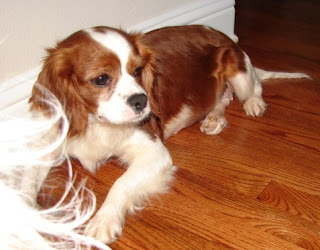 Precious Cavaliers Small Dog Rescue: Ellie Mae - Rescued ... - photo#22