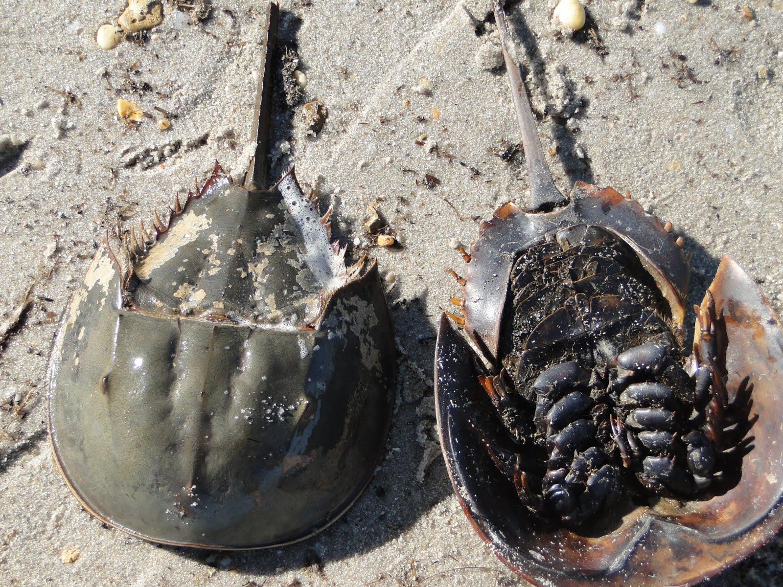 Fun and Facts with Kids: Horseshoe Crabs with Kids!