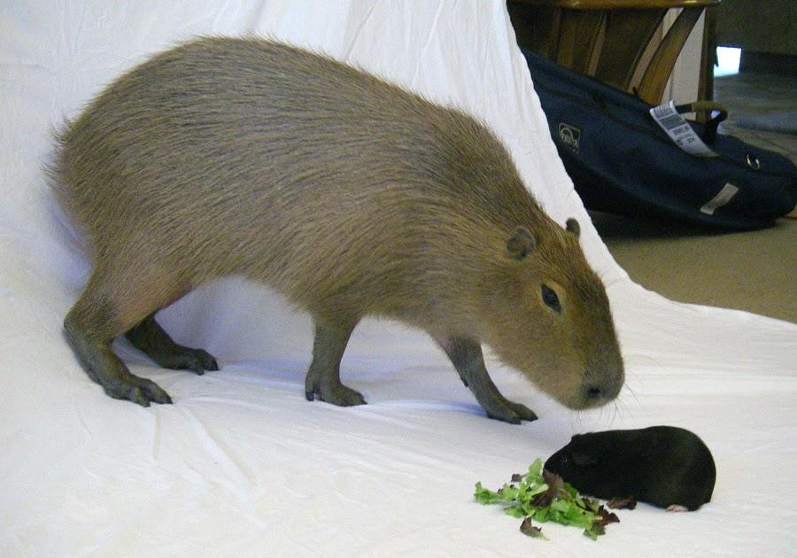 coloring pages capybara as pets - photo#36
