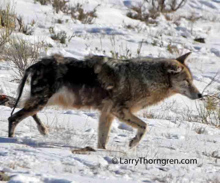 You coyotes den spank join