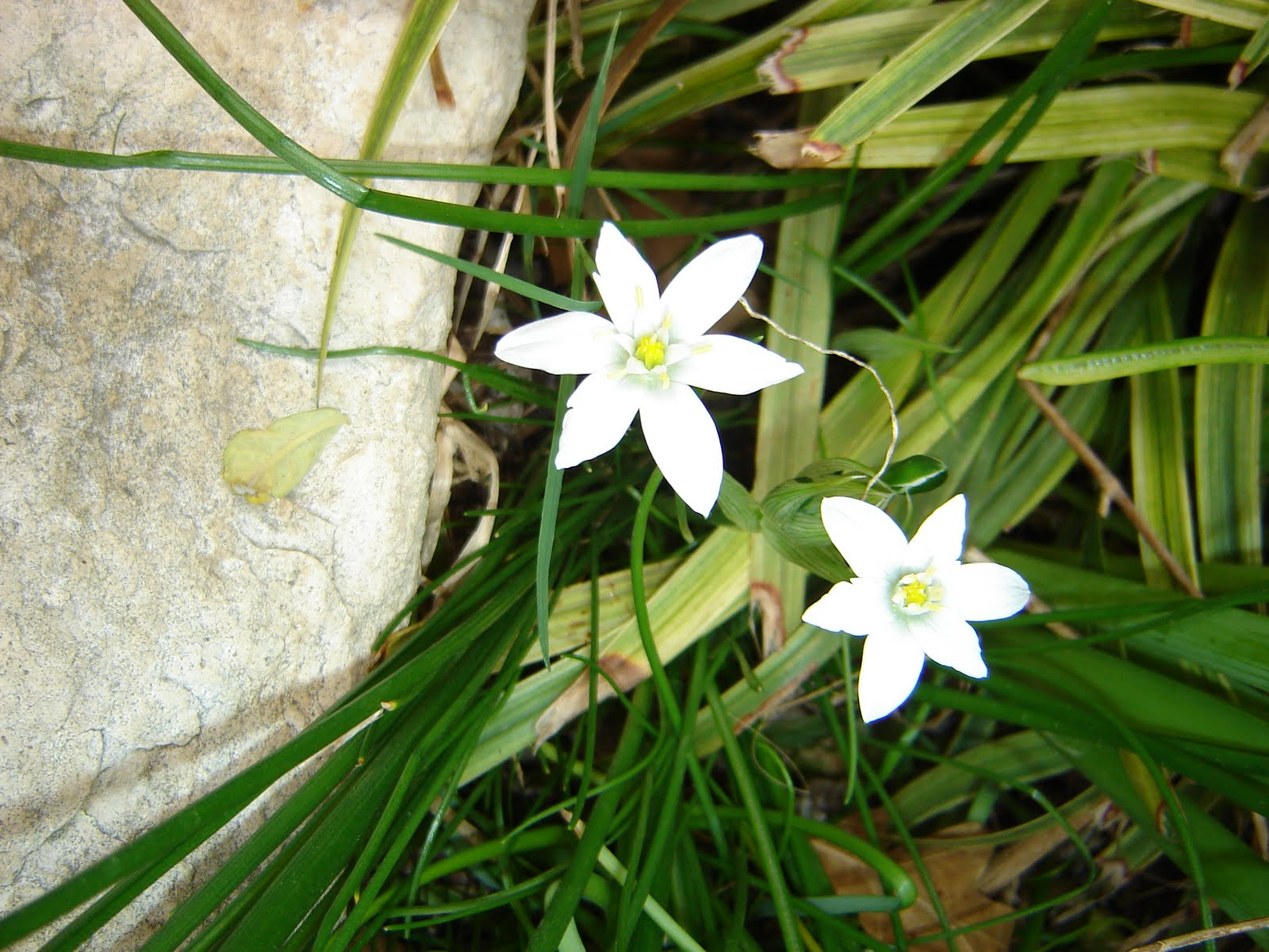 Star white flower spring star flower bulbs choice image flower decoration ideas mightylinksfo