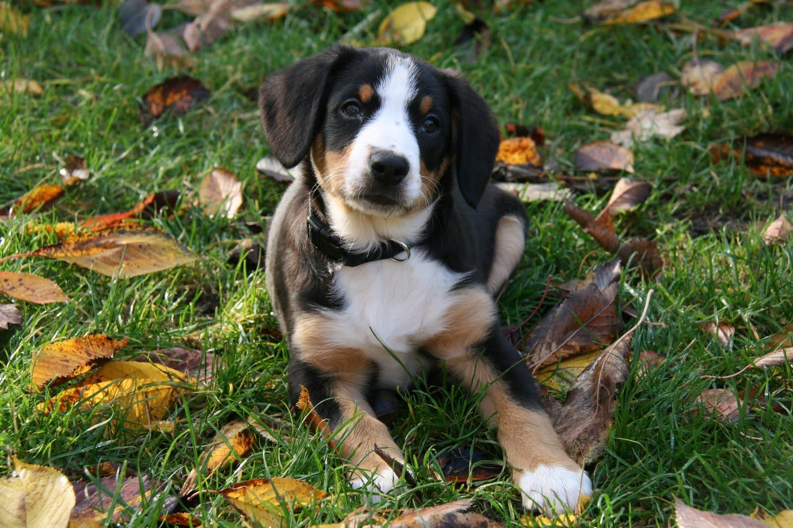 The Quinn-tessentials: ENTLEBUCHER MOUNTAIN DOG (sennenhund)