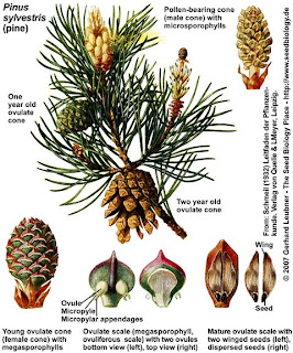 marijuana anatomy plant structure diagram seed structure diagram pine reeya kapoor gymnospermae